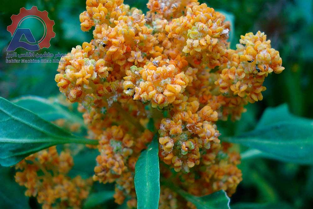 مزرعه کینوا-عمس مقاله کینوا چیست؟