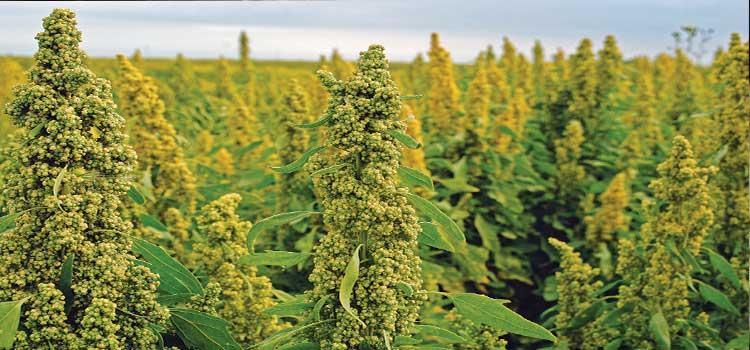 گیاه کینوا در مقاله دستگاه بسته بندی کینوا