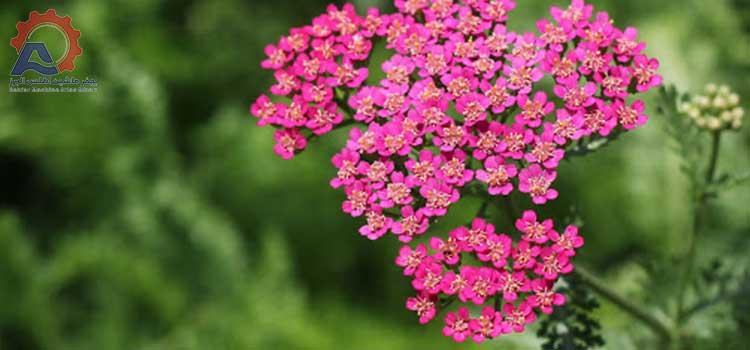 عکس گل بومادران در مقاله دستگاه ساشه بومادران